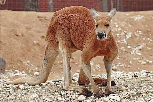 Red kangaroo - melbourne zoo