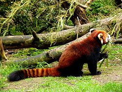 Red panda eating bamboo.jpg