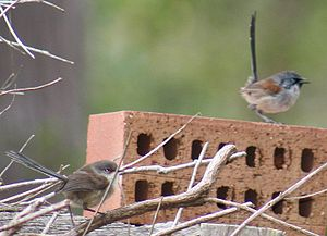 Red-winged fairywren - Female (left), black bill and red lores, male in eclipse plumage showing patches of black and blue