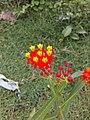 Red yellow flower.jpg