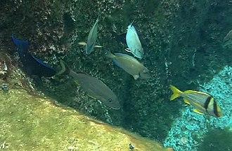 Cayman Turtle Farm - Image: Reef fish at snorkel lagoon Cayman Turtle Farm