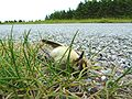 Regulus regulus -roadkill -Scotland-8.jpg