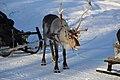 Reindeer farm, Inari, Suomi - Finland 2013-03-10 g.jpg