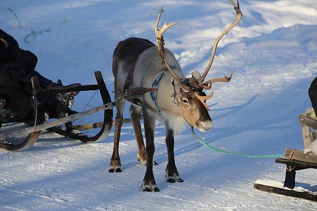 640px-Reindeer_farm%2C_Inari%2C_Suomi_-_Finland_2013-03-10_g.jpg