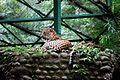 Resting Jaguar in cage.jpg
