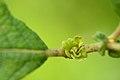 Rhabdophaga rosariella on Salix cfr aurita (31799899571).jpg