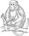 Rhesus Macaque.png