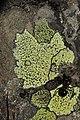 Rhizocarpon sp. (43746106214).jpg