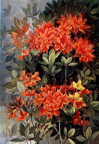 Chauncey Beadle - Beadle was known for his horticultural work with azaleas. This Flame Azalea, by Ellis Rowan, is from Southern Wildflowers and Trees by Alice Lounsberry. Beadle wrote the Introduction for that work.
