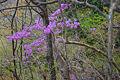 Rhododendron dilatatum 05.jpg