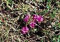 Rhododendron lapponicum 1999-07-07.jpg