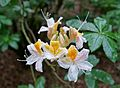 Rhododendron occidentale - RHS Garden Harlow Carr - North Yorkshire, England - DSC01288.jpg