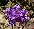 Rhododendron yungningense 2.jpg