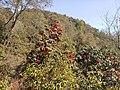 Rhododendrons, Shivapuri National Park.jpg