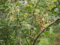 Rhus parviflora Roxb. (9919686474).jpg