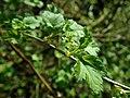 Ribes alpinum 2019-03-30 8384.jpg