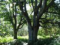 Ribnitzer Moor alte Buchen 2.jpg