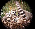 Ring-tailed Lemurs. Lemur catta - Flickr - gailhampshire.jpg