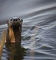 River Otter (8611175006).jpg