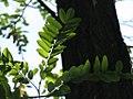 Robina pseudoacacia - Bagrem (2).jpg