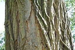 Robinia pseudacadia (Cortex)