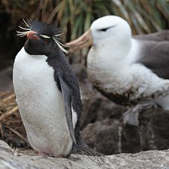 Rockhopper Penguin and Black-browed Albatross (5545957718).jpg