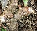 Rohdea japonica (root s2).jpg