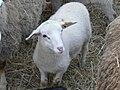 Romane agneau Périgueux.jpg