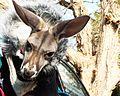 Roo - Kangaroo in Canada (15797128785).jpg