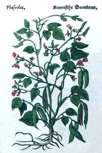 Phaseoleae