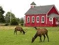Roosevelt elk roam in Orick, California LCCN2013632717.tif
