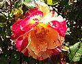 Rosa-citrussplash.jpg