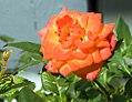 Rosa Apricot Sunblaze 1zz.jpg
