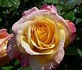 Rosa Charivari 1.jpg