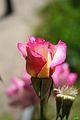 Rosa Handel Capullo Nueva Zelanda 1965 (11982215035).jpg