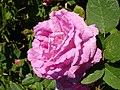 Rosa JulieDeMersent1a.UME.jpg
