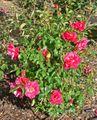 Rosa Red Talisman 2.jpg