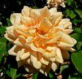 Rosa Reve dOr 1.jpg