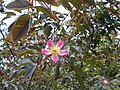 Rosa glauca 2016-05-31 1427.jpg