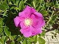 Rosa rugosa Curonian Spit 02.jpg