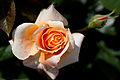 Rose, Manyo - Flickr - nekonomania (6).jpg