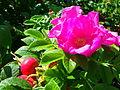 Rose (9661601999).jpg
