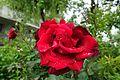 Rose @ Square d'Alleray Labrouste-Saint-Amand @ Paris (34636767702).jpg