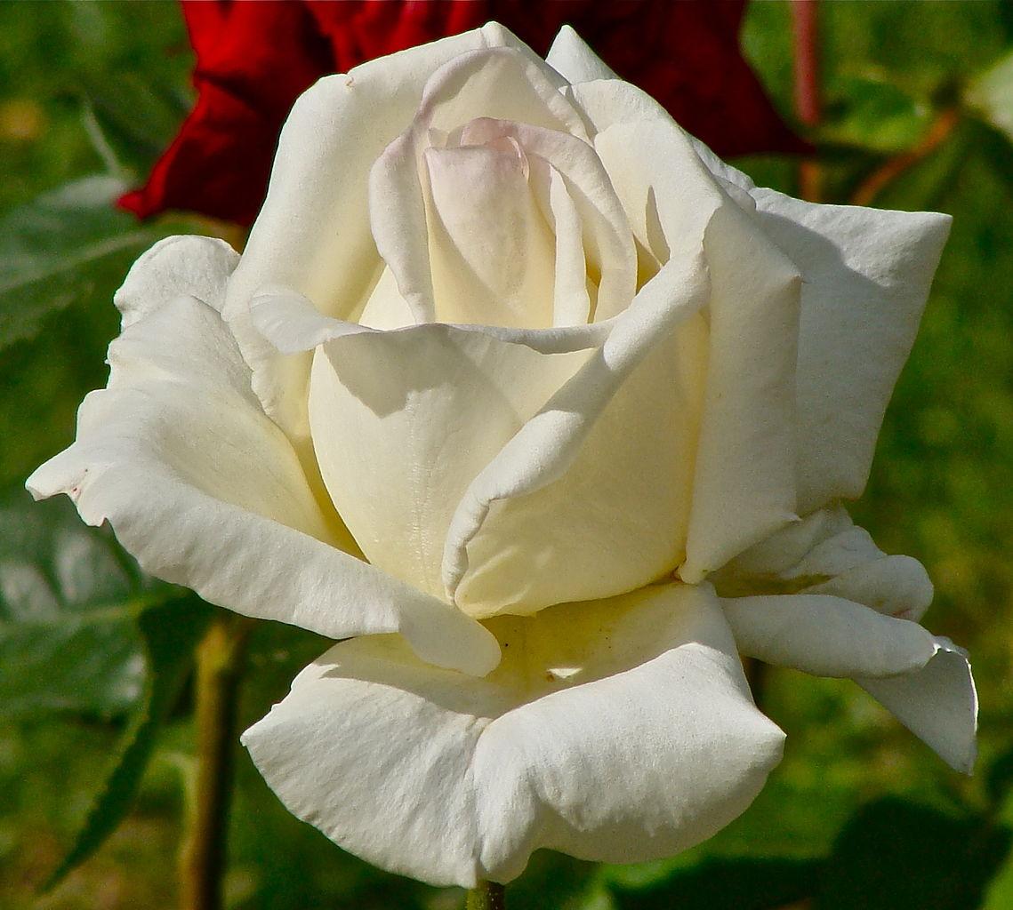 File:Rose blanche 1.JPG - Wikimedia Commons