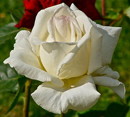 Rose blanche 1