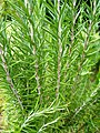 Rosmarinus officinalis (Lamiaceae).jpg
