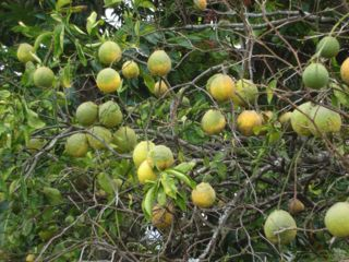 Rough skinned citrus.jpg