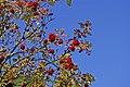 Rowan Berries - geograph.org.uk - 998110.jpg
