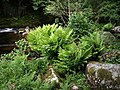 Royal Fern by the Dart - geograph.org.uk - 841391.jpg