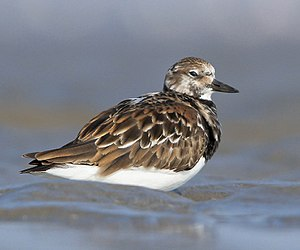 Ruddy turnstone - at kutch